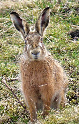♥ Brown Hare