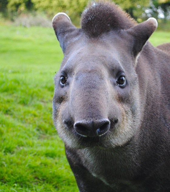 96 Best Images About XP - Tapir On Pinterest