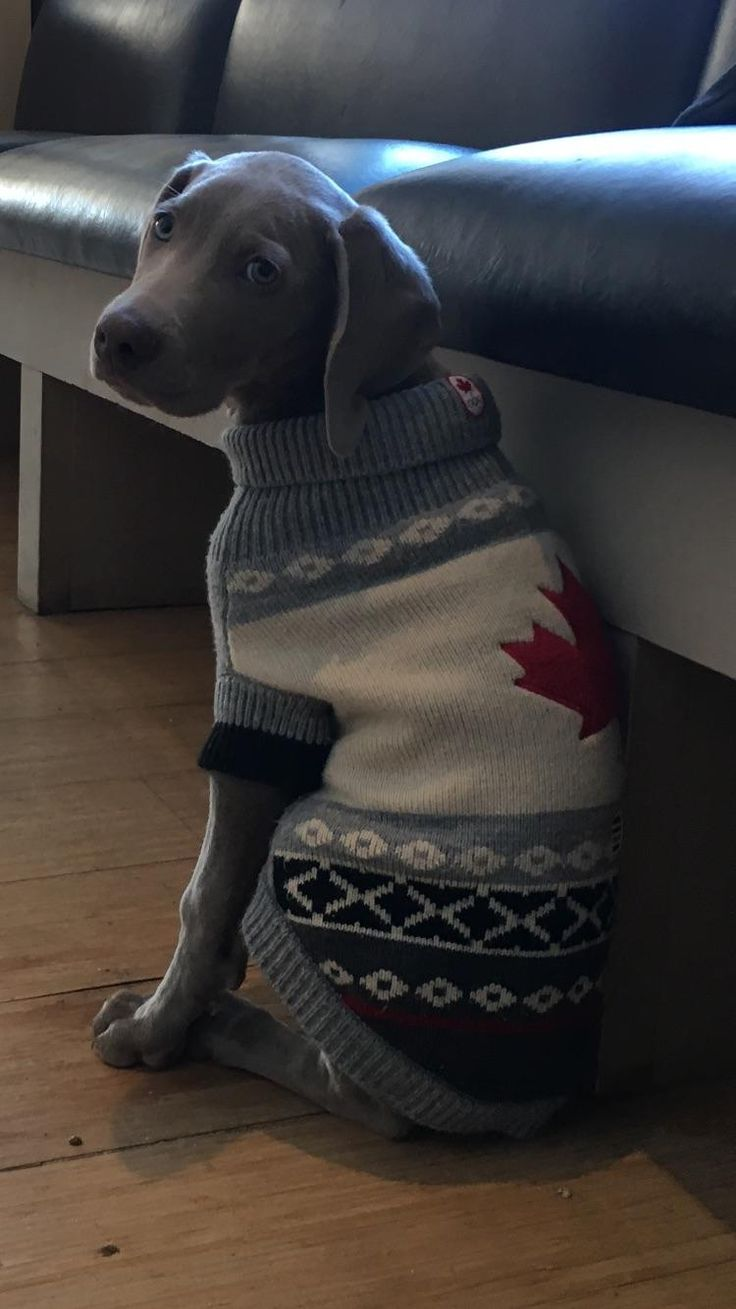 Weimaraner puppy ready for the Winter Olympics ! http://ift.tt/2C2rYCk