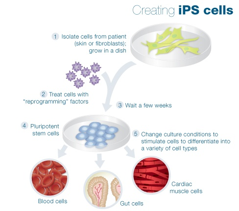 001 Isolating iPS from the Stem Cell Quick Reference at Learn