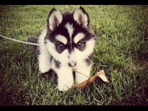 If this is how cute all adult pomskies are, then I want one sooo bad!!!