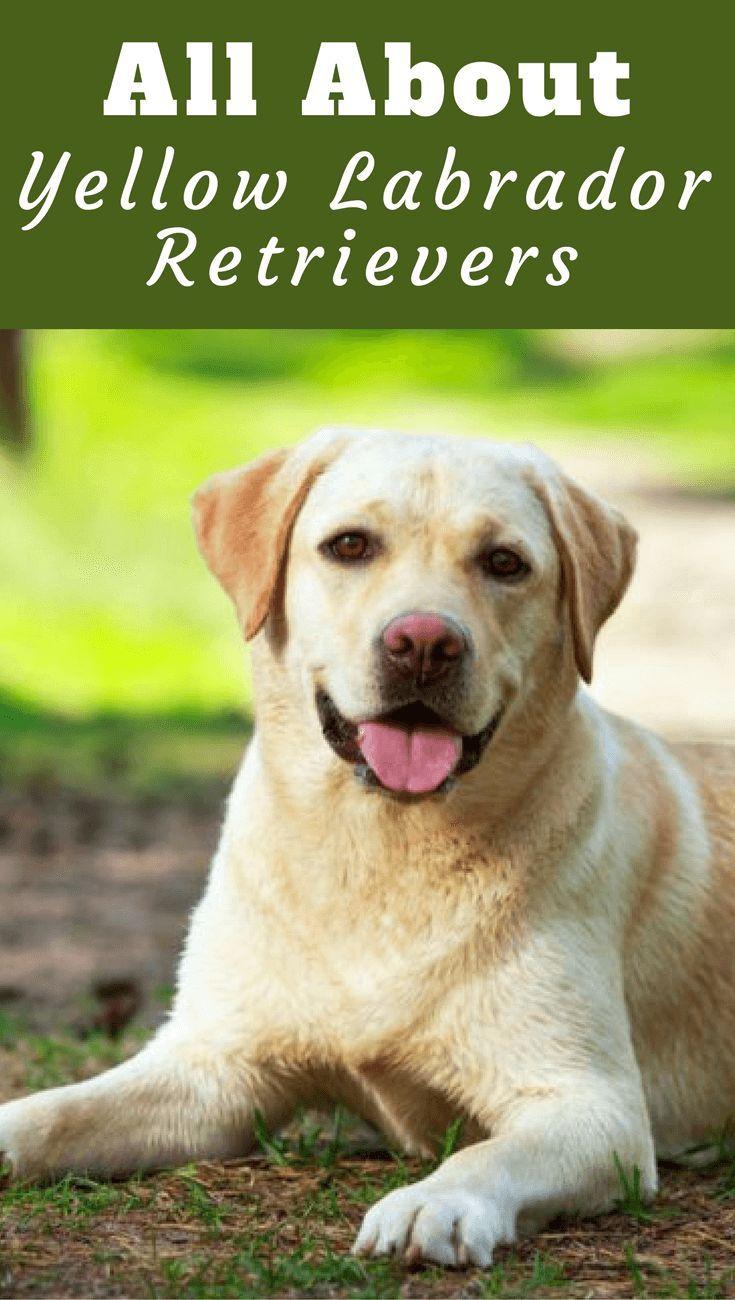 Yellow Labrador Retriever Facts Labrador Retriever Facts Labrador Retriever Yellow Labrador Retriever