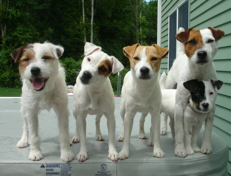 The Jack Russell Terrier is a small terrier that has its origins in fox hunting; it is principally white-bodied and smooth, rough or broken-coated.