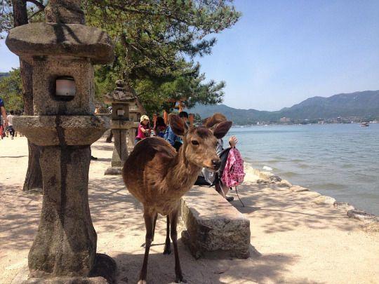 Ciervo en #miyajima #hiroshima #japan #travel #backpaker (en Mijayima,)
