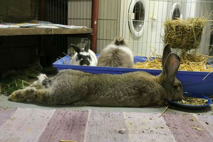 how to house train a giant rabbit
