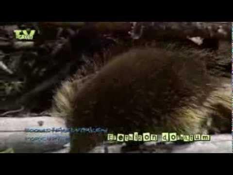 Wild Peers: Porcupine - Boomstekelvarken - Erethizon dorsatum - YouTube