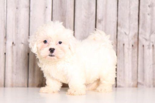Zuchon puppy for sale in MOUNT VERNON, OH. ADN-35135 on PuppyFinder.com Gender: Female. Age: 8 Weeks Old