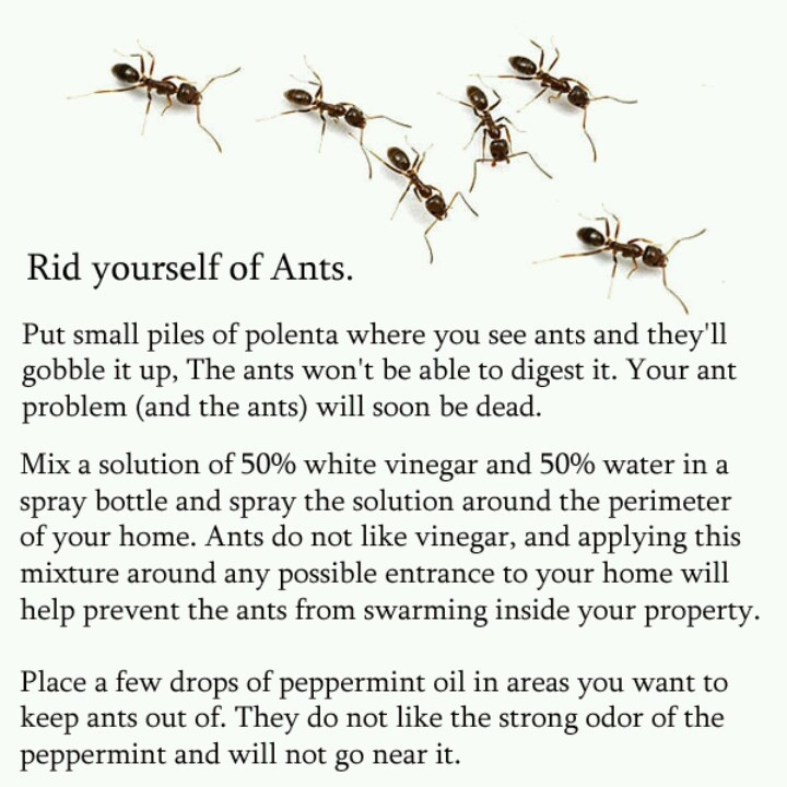 Natural Remedies For Getting Rid Of Carpenter Ants