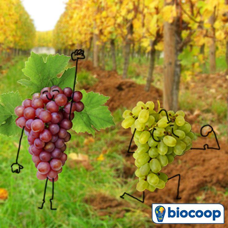 Chez Biocoop, en septembre, c'est priorité aux raisins !