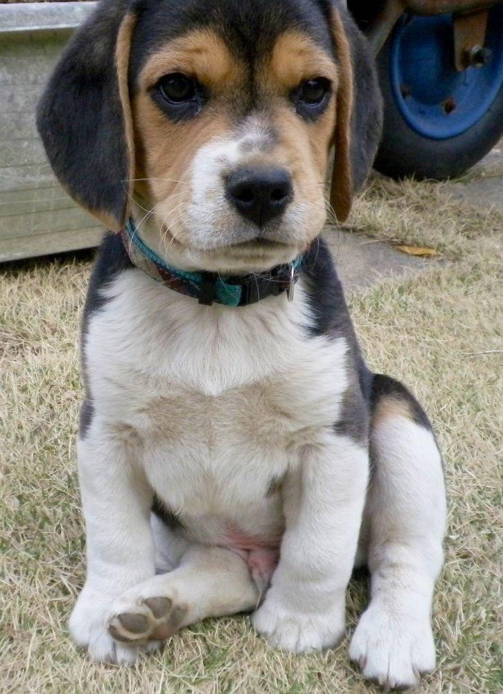 A Beagle Puppy Best 25+ Beagle...