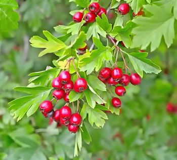 hawthorn fruit - useful for digestion as well as a heart tonic