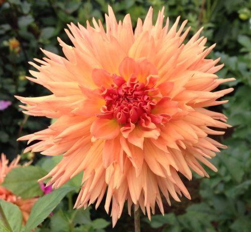 14 best Colwood dahlias images on Pinterest | Dahlia, Dahlia flower ...