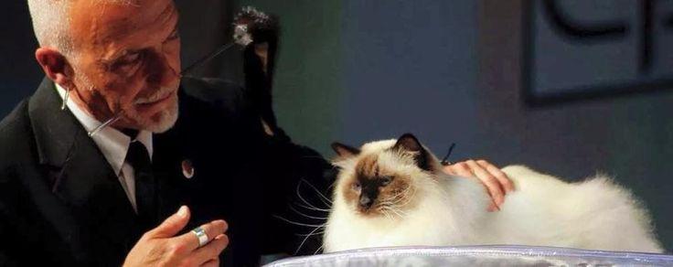 """Di Besozzo il gatto più bello del mondo  """"Syros il Greco"""" conquista la giuria"""