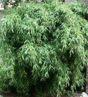 fargesia murieliae simba bamboo
