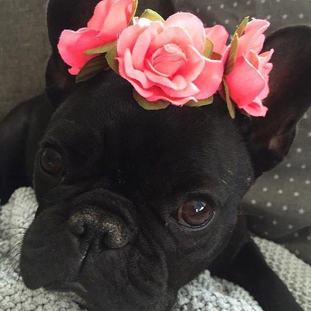 'Mila', the French Bulldog Princess in a Rose Tiara.