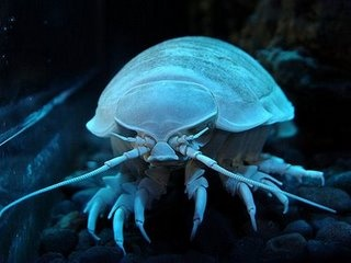 Bathynomus giganteus (Giant Isopod).    Giant, deep sea cousin to the Armadillidium vulgare (Common Pill-Bug). Can be over 1ft in length.