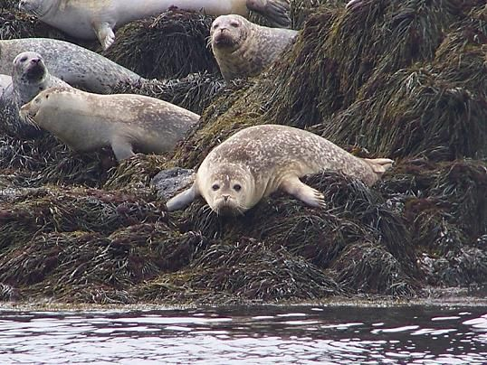 Seals like to lounge on the rocks and ledges that are exposed at low tide.