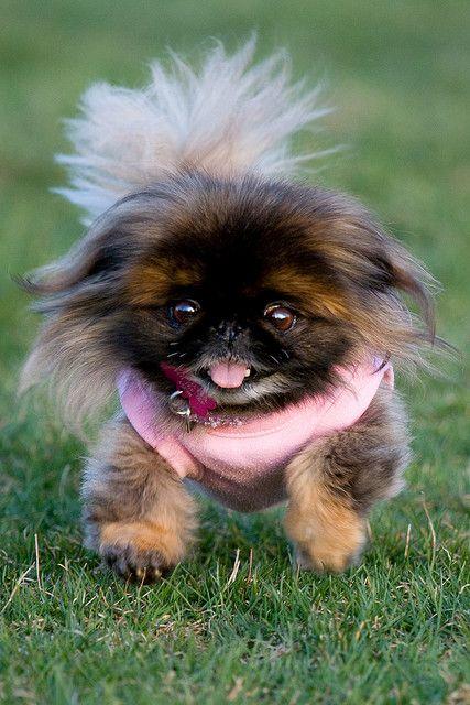 PekingeseCutest Dogs, Pekingese Puppies, Pets, Pekingese Dogs, Pink, Funny Girls, Baby Dogs,  Pekingese, Animal
