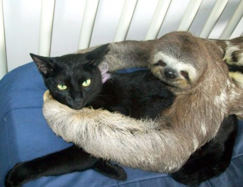 I'm not sure a which I like more, sloth hug or disgruntled cat.