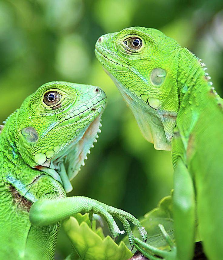 Filhotes de Iguana