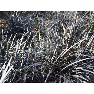 """Ophiopogon planiscapus Niger - Zwart gras - Palma Verde Exoten  Ophiopogon planiscapus """"Niger"""" groeit polvormend, de pollen worden hooguit 20/25 cm hoog en net zo breed. Vanuit de wortel maakt de plant een nieuwe uitloper aan net naast de plant en daar groeit dan weer een nieuwe zwarte polletje. U kunt deze ook voor vakbeplanting toe passen. De plant woekert niet en is goed in toom te houden.  De Ophiopogon planiscapus """"Niger"""" bloeit in mei/juni met kleine lila bloemen. Deze contrasteren…"""