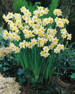 Daffodil 'Minnow.' 6 to 8 inches tall; zones 3 to 8. (Dutch Gardens.)