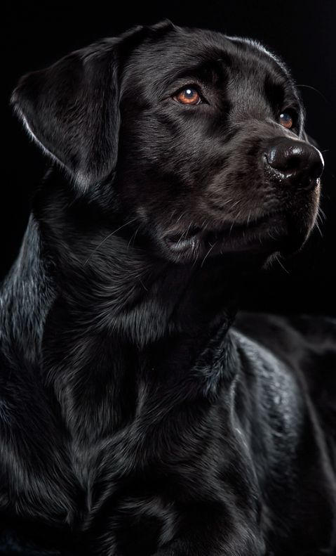 Logan Harrington's dog, Liberty (a girl) A black Labrador Retriever
