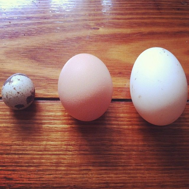 Comparing quail, chicken and duck eggs.