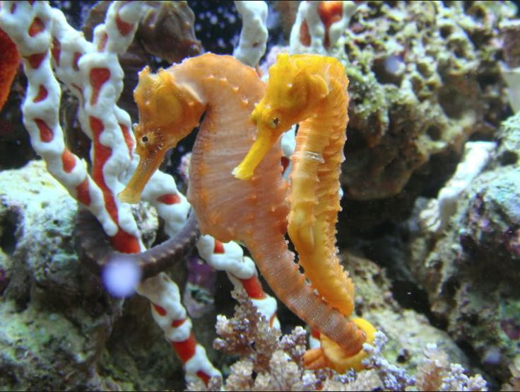 159 best images about seahorses on pinterest baby for Is a seahorse a fish