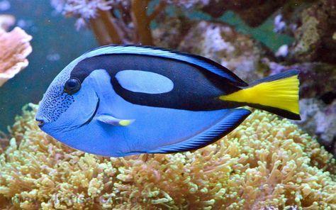 Regal Tang Regal Tang ist auch als Paletten-Chirurg-Fisch oder als Blue Tang bekannt. Rega …   – salt water fish