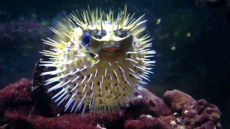 le poisson qui gonfle