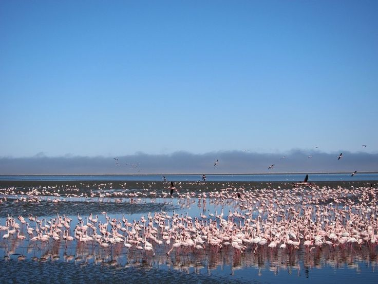 """""""Most visitors still stay in Swakopmund, where they eat and relax, and venture down to Walvis Bay to go birdwatching, as there are a number of sites attracting huge flocks of seabirds and migrant waders, including the famous flamingos and pelicans."""" Namibia: the Bradt Guide; www.bradtguides.com"""