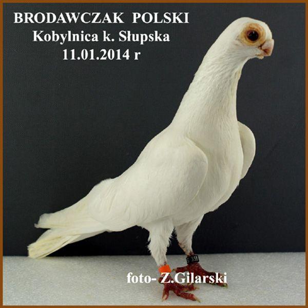 """Képtalálat a következőre: """"brodawczak"""""""