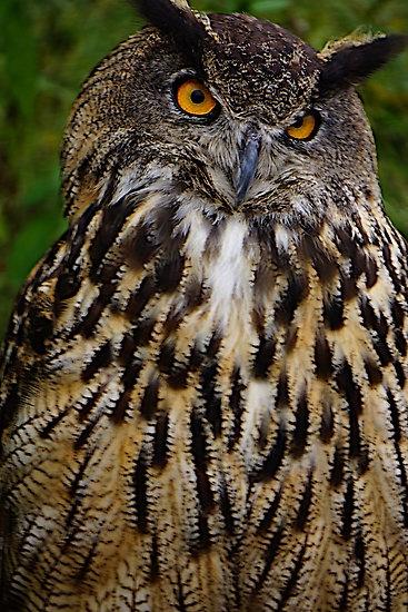 ~~European or Eurasian Eagle Owl by Nancy Richard~~