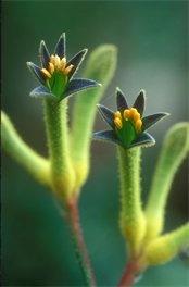 Kangaroo Paw from Australia  Protea cynaroides, the King Protea  Leucodendron  (Cambridge University Botanic Garden)
