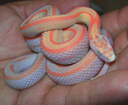 Neon Navajo Snake. Beauty really does reveals itself in the most interesting places.