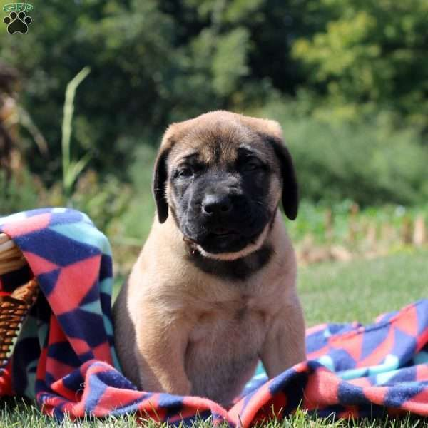Meet Donna, a sweet and laid back English Mastiff puppy with a gorgeous build. This people loving pup is vet checked and up to date on shots and wormer. Donna can be registered with the AKC and comes with a health guarantee provided by the breeder. Donna is family raised and loves to be around children. To find out more about this amazing pup, please contact Elmer today! Sire comes from Champion bloodlines