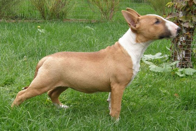 bull terrier fawn - Google Search