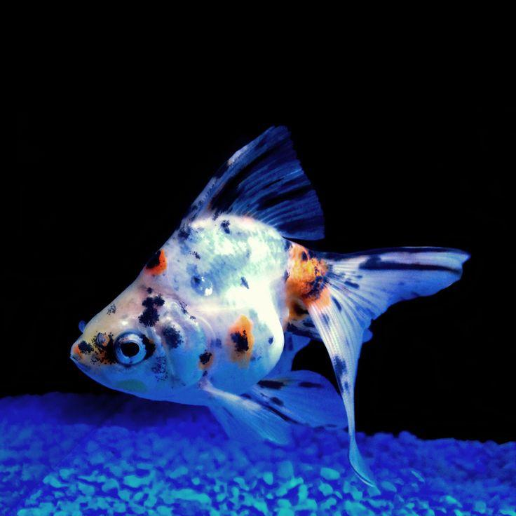 26 best Fish images on Pinterest | Fish aquariums, Fish ...