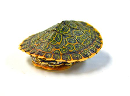 Baby Gorzugi Turtles for sale. Fantastic patterns on these baby turtles. Eating good on pellet turtle food. Free sample food with purchase. Ships fast Ups.
