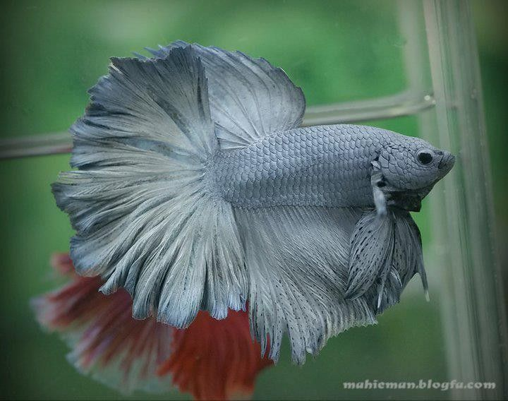 82 best images about dragon scale bettas on pinterest for Betta tropical fish