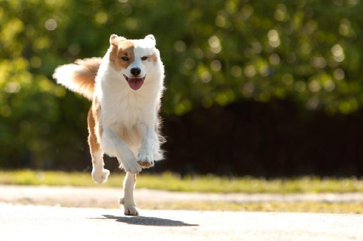Icelandic Sheepdog Westminster icelandic sheepdog | I...