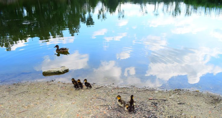Little ducks with mom  - picture