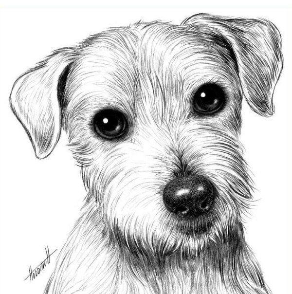 Уроки рисования карандашом. Собака Джек рассел терьер