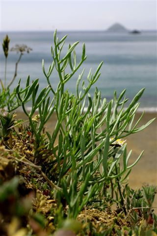 "Samphire, aka ""sea asparagus,"" is a sturdy vegetable. It grows in rocky regions near the ocean."