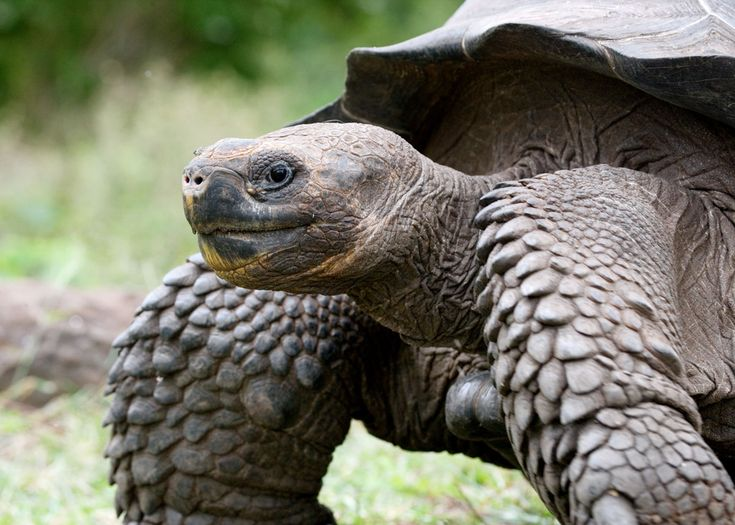 The Giant Galapagos Tortoise is one of the main animals indigenous to the Galapagos Islands. They have several subspecies and have been taken elsewhere for breeding in zoos and rescues, but this species got its start on the archipelago of the Galapagos Islands.  12 Giant Galapagos Tortoise Facts | Latin Roots Travel (Ecuador)