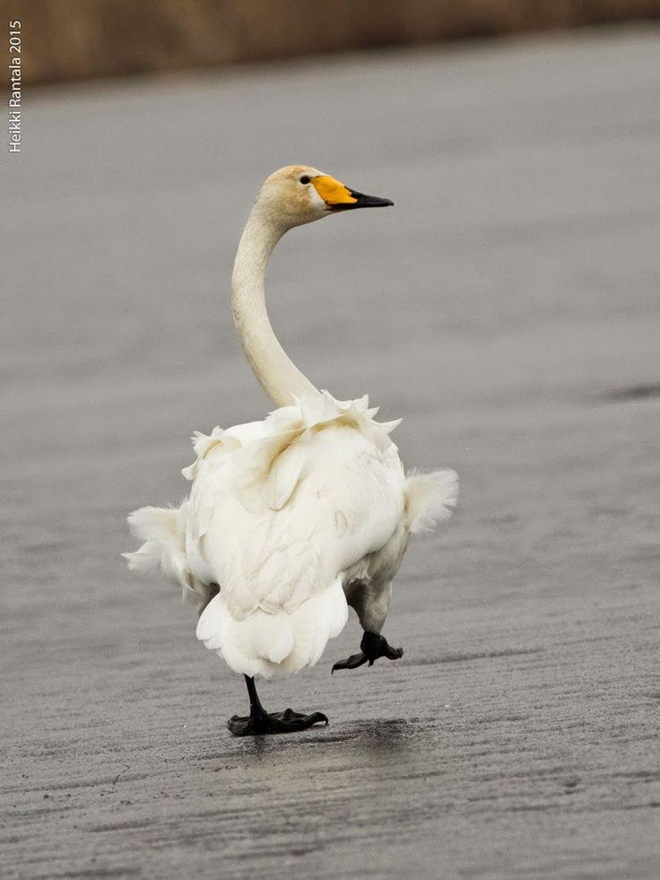 Swan, Helsinki, by Heikki Rantala