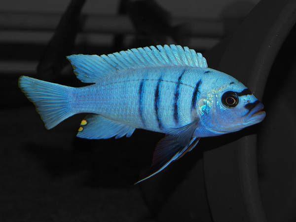 Cyno Afra Hara White Top Gal Reef Cichlid Fish