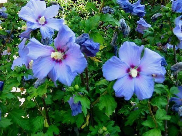 Hibiskus blau, winterhart