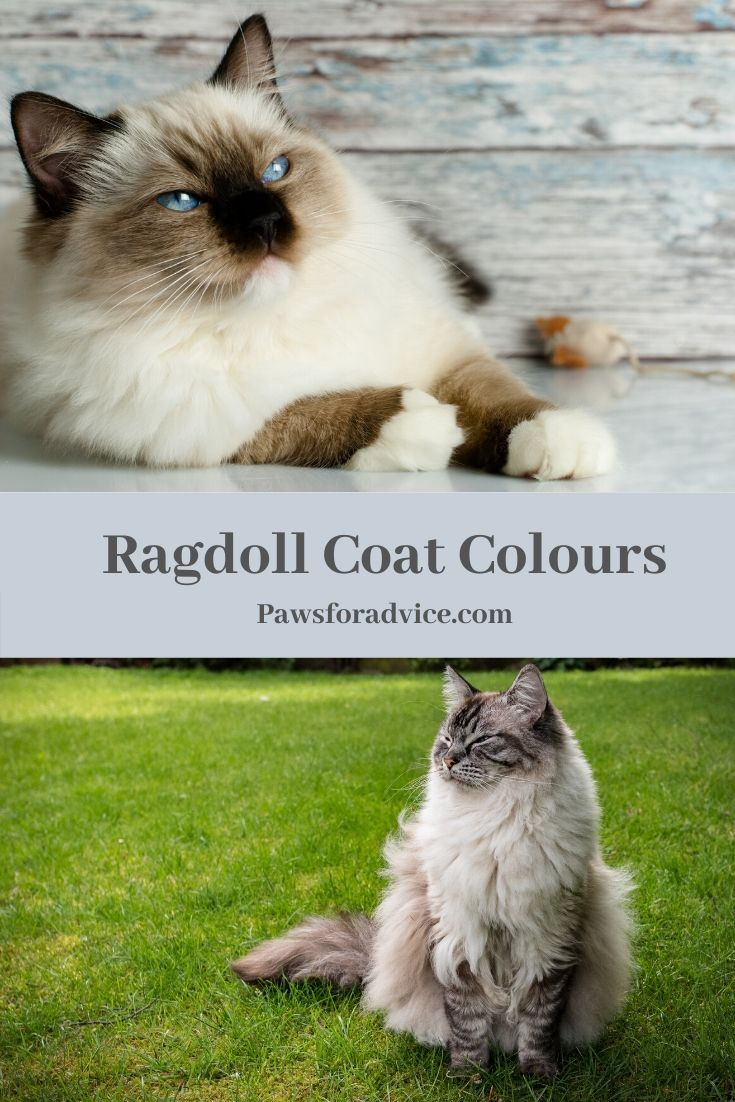 A Guide To Ragdoll Cat Coat Colours In 2020 Ragdoll Cat Colors Ragdoll Cat Breed Cat Colors